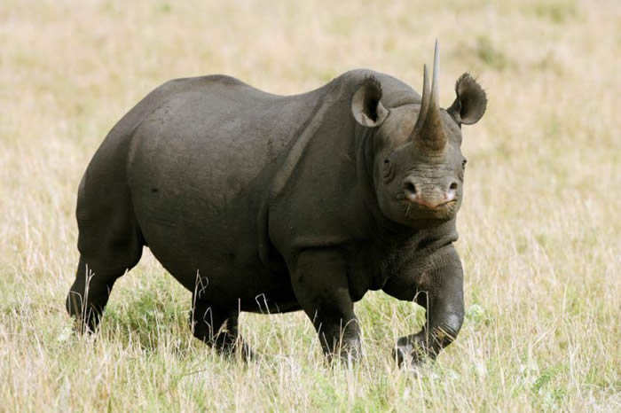 肯尼亚濒临绝种黑犀牛搬家导致11只死了8只