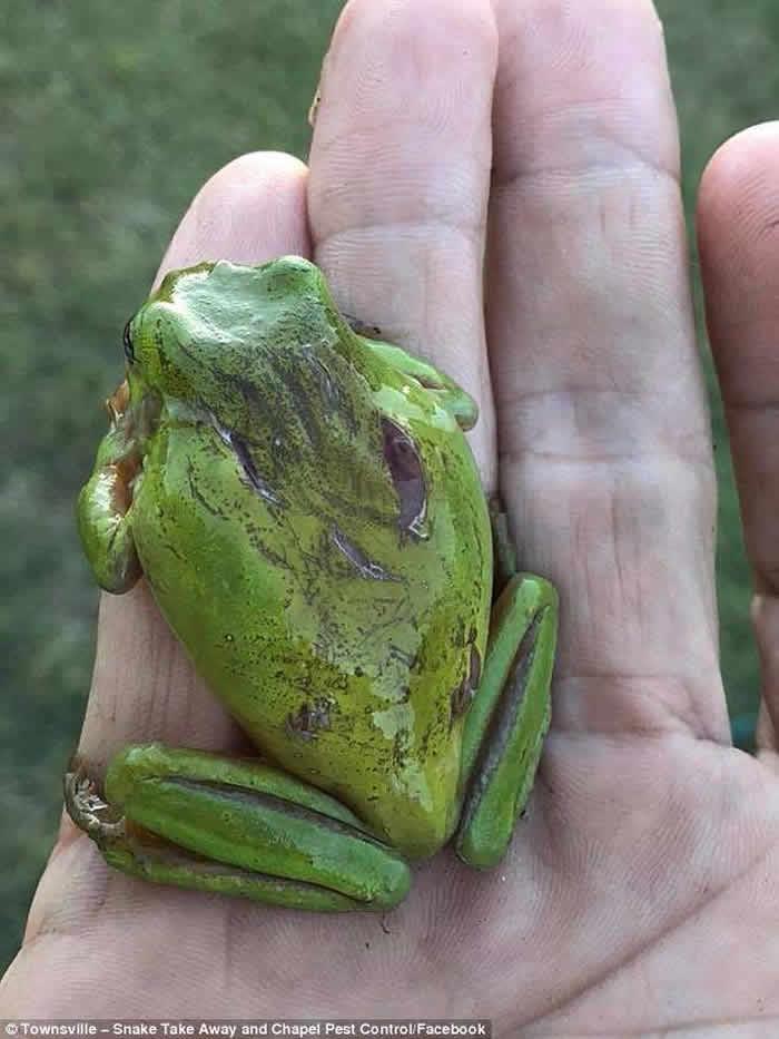 澳洲捕蛇人成功以心肺复苏法(CPR)救回蛇口中吐出的小树蛙