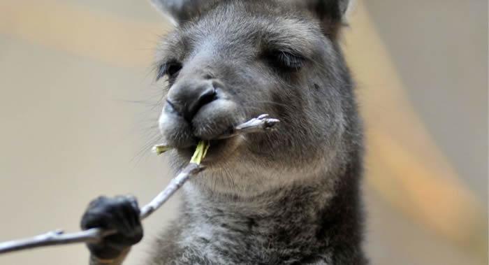 科学家找到澳大利亚袋鼠像喝醉酒的原因:吃了毒性很大的Falaris草中毒