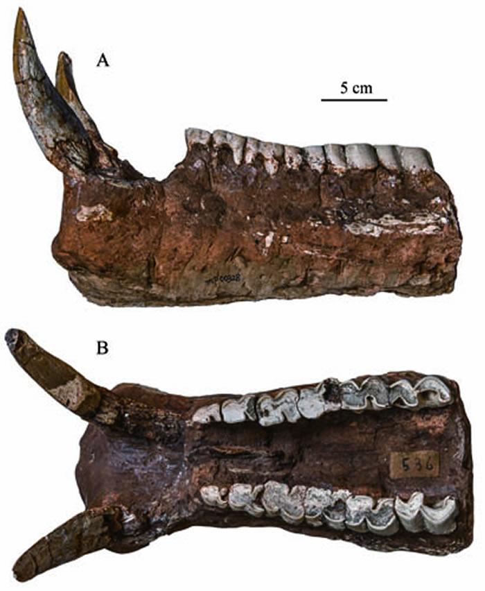 甘肃庆阳桑氏大唇犀新种Chilotherium licentisp. nov.(TNP 00328)下颌骨 A. 侧面; B. 咬合面 (孙丹辉供图)