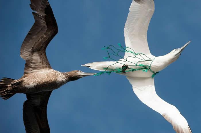 像照片中的这一只,海鸟都有可能被渔网困住。有一项新研究显示,如果渔网闪着绿色灯光,鸬鹚就会被吓跑。 PHOTOGRAPH BY PIERRE GLEIZES,