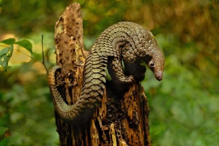 长尾穿山甲,学名为Manis tetradactyla,摄于刚果民主共和国。 PHOTOGRAPH BY FRANS LANTING, NATIONAL GEO