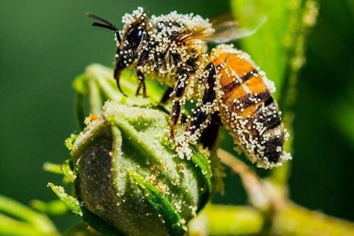 工蜂负责采花蜜。