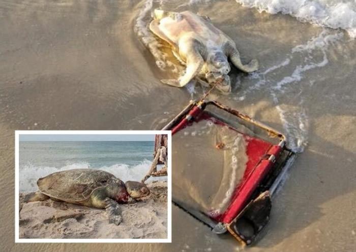 """沙滩垃圾成""""杀手"""":极度濒危的肯普氏丽龟被沙滩椅绳子缠颈致死"""