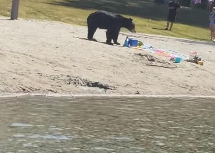 黑熊现身卑诗省白松沙滩,泳客吓得四散。