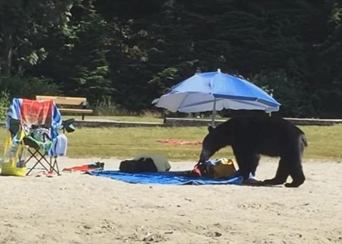黑熊在沙滩东找西找,最终一无所获。