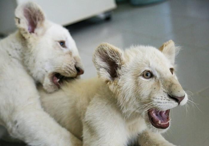 墨西哥现向世界各地为小白狮征名。