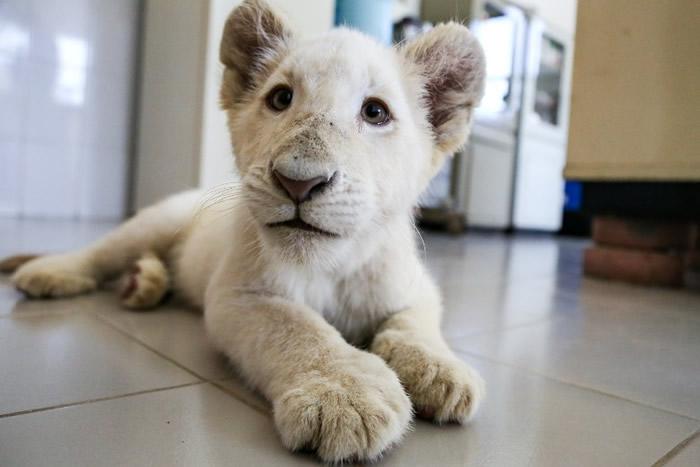 白狮为极之珍贵的动物。