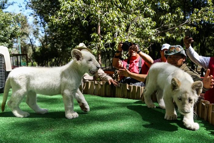 动物园即将让游客观赏一对白狮。