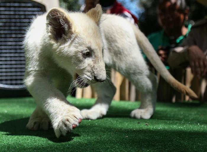 白狮目前的健康情况极佳。