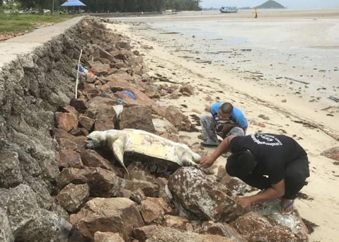 两个月来第9只 濒危绿海龟惨死泰国苏梅岛