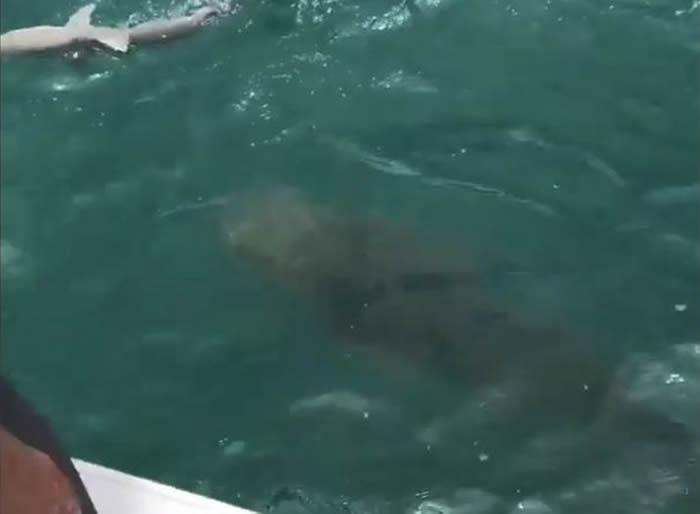 222公斤重巨型大西洋石斑鱼一口吞掉美国渔夫捕到的鲨鱼