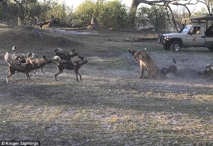 非洲博茨瓦纳莫瑞米野生动物保护区母狮为保护幼崽与一群野狗对峙