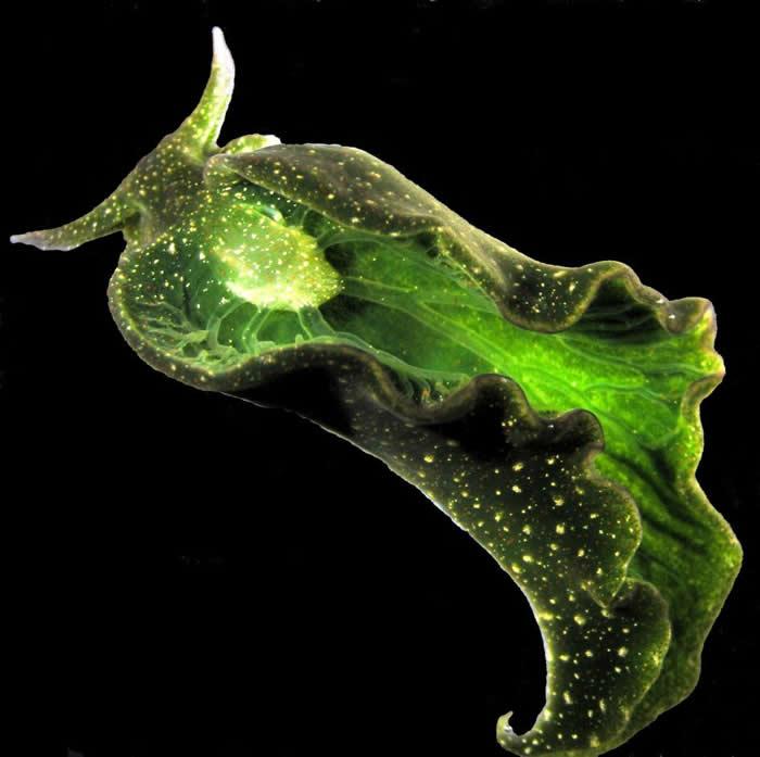 绿叶海天牛这种生活在美国东岸外海的海蛞蝓,从海藻取得光合质体后,靠晒太阳就能存活下来。 PHOTOGRAPH BY PATRICK J. KRUG