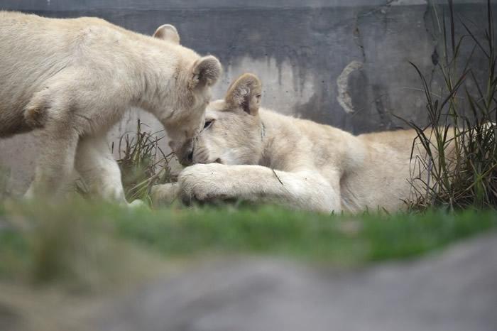 秘鲁首都利马动物园两只极为罕见的白狮亮相