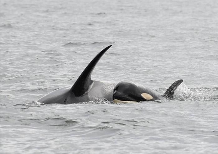 鲸鱼妈妈疑因食物不足,令诞下的幼鲸(右)无法存活。