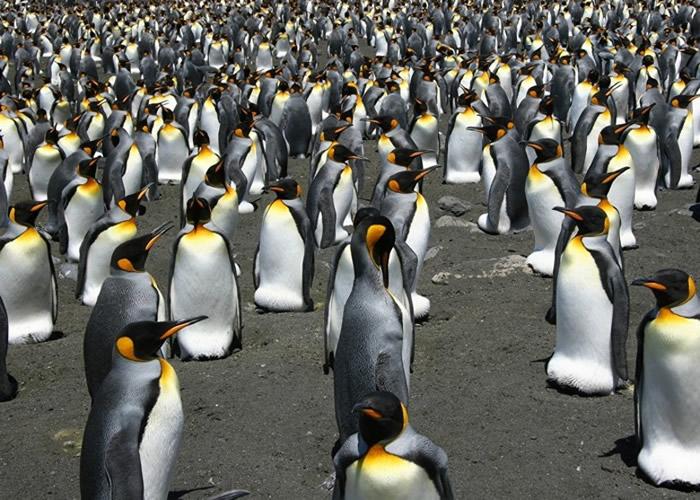 科雄岛上的国王企鹅数量剧跌。