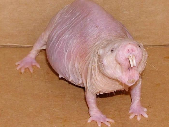 裸鼹鼠挑战对衰老和繁殖的传统认知