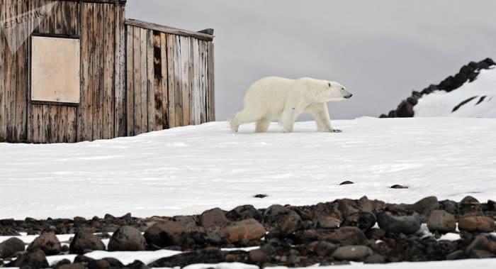 俄罗斯科学家研究表明会危害北极动物的传染病正在渗入该地区