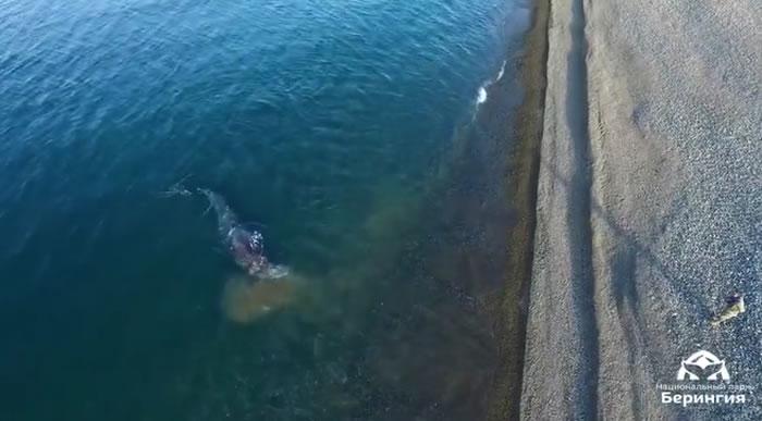"""俄罗斯""""白令陆桥""""国家公园拍到一头灰鲸靠岸觅食并在鹅卵石上""""抓痒"""""""