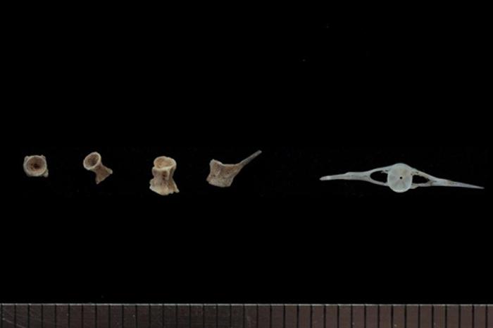 韩国江原道旌善郡洞穴发现旧石器时代小石块 还有鱼类脊骨和人类手指骨化石