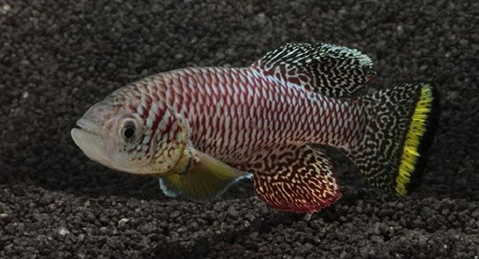 《当代生物学》:地球上生长最快的动物是非洲卵生鳉鱼