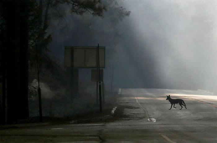 2013年8月23日,一只郊狼走过美国120号高速公路,该路因加州格罗夫兰附近的环火而关闭。 PHOTOGRAPH BY NOAH BERGER, EPA