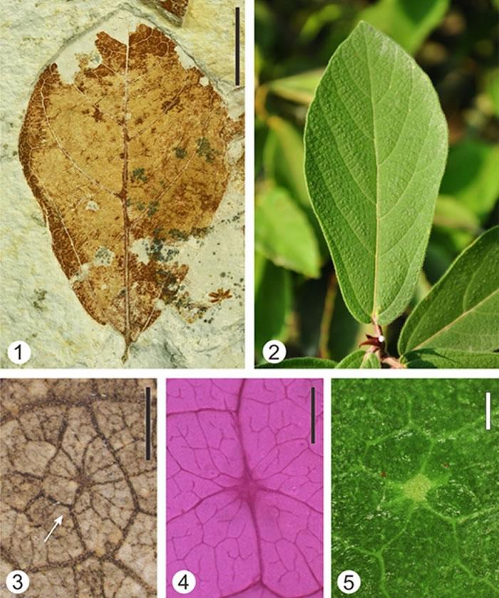 中中新世文山植物群中的小楔叶榕(Ficus microtrivia)叶片化石(1)与现生楔叶榕(Ficus trivia)叶片(2);化石和现生种表面均具有细脉