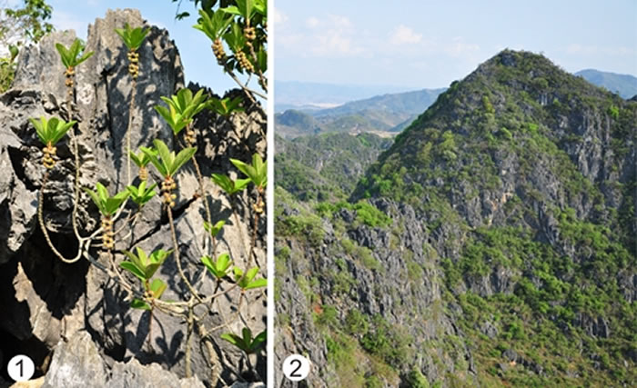 (1)生长在石灰岩裸岩上的楔叶榕;(2)滇东南地区现生石灰岩灌丛植被