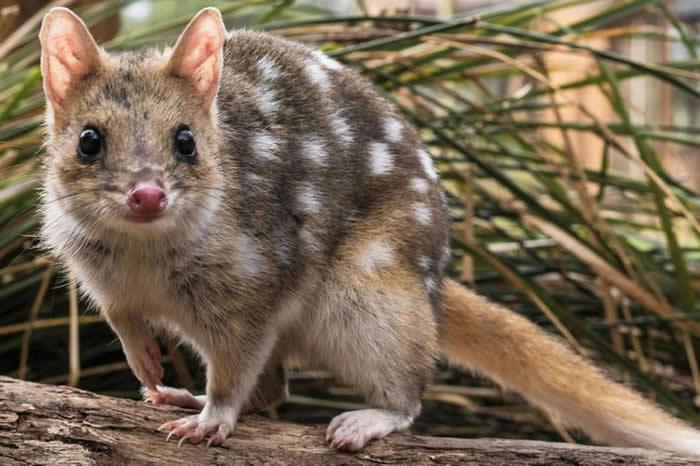 体型与猫差不多大小的东袋鼬,约在50年前就已从澳洲大陆上绝迹。如今科学家正努力从其他岛屿引进东袋鼬,让它们回到从前的栖地。