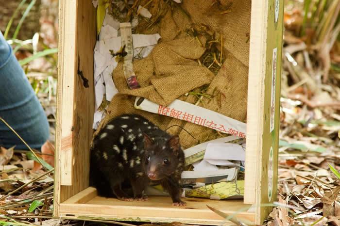 在20只野放回澳洲的东袋鼬当中,有三只已经生下小袋鼬,为复育带来一线希望。 PHOTOGRAPH BY JUDY DUNLOP