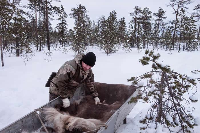 当地居民帕维尔.波波夫(Pavel Popov)拉开驯鹿皮,盖在他用捡来的火箭零件做成的雪橇上。 PHOTOGRAPH BY RAFFAELE PETRALLA