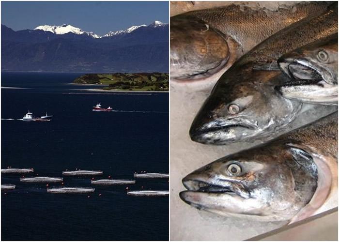 智利暴雨侵袭 养殖场60万条三文鱼游走恐酿生态灾难