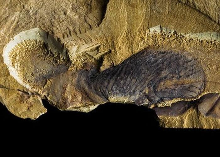 专家研究相关化石后得出结论。