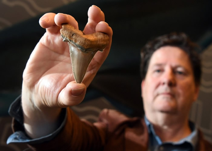 """澳洲维多利亚省托基沙滩发现2500万年前""""安格斯迪鲨""""牙齿化石 身长最多可达9米"""