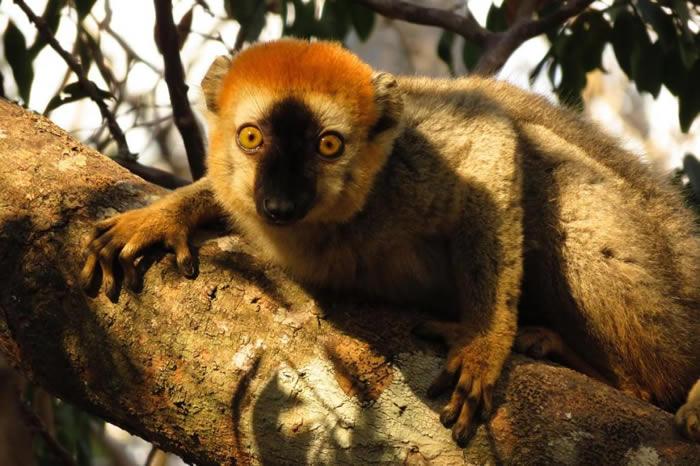 新研究显示,红额狐猴可能利用马陆来抵抗寄生虫。 PHOTOGRAPH BY LOUISE PECKRE