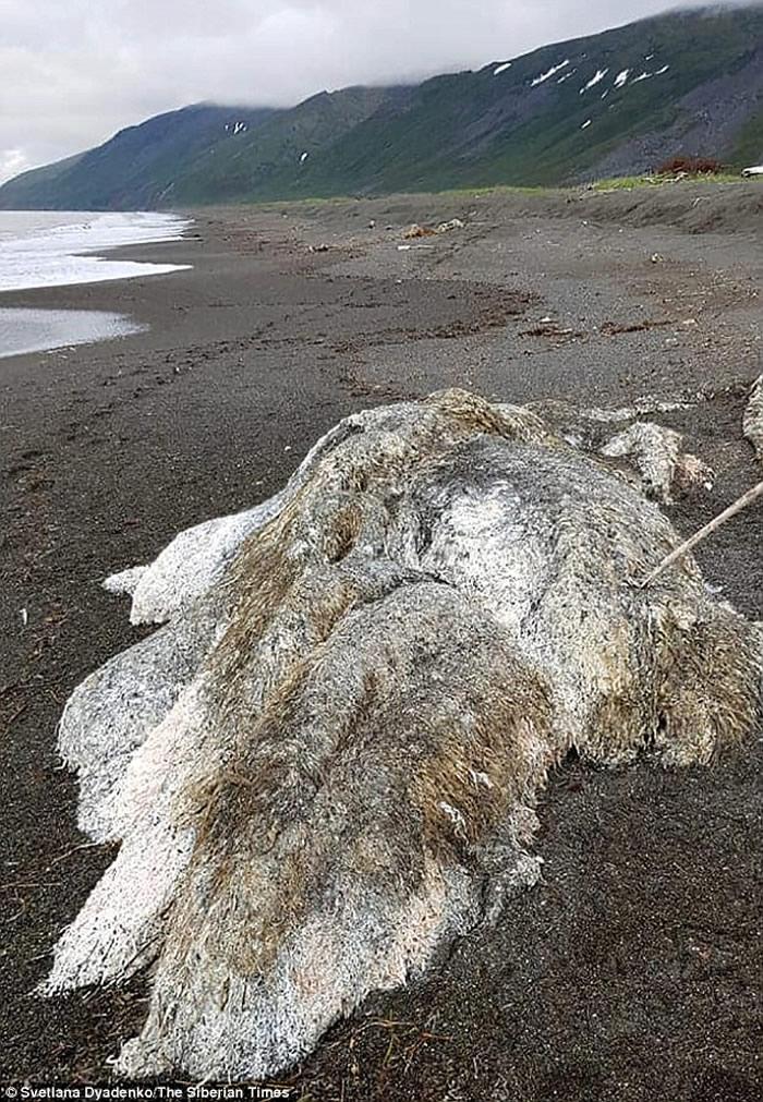 """俄罗斯堪察加半岛暴风雨过后海滩上发现长毛""""海怪"""""""