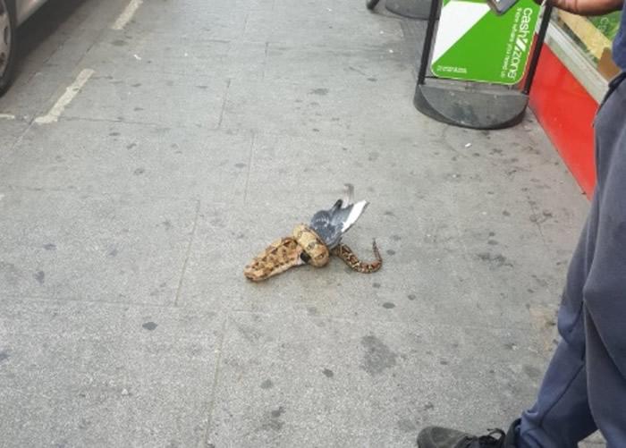 英国伦敦街头大蟒蛇吃掉死鸽子 组织忧有人弃养