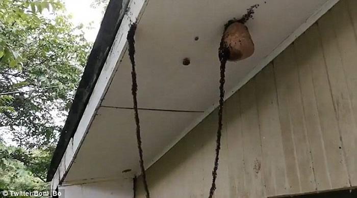 巴西男子在宿舍外目睹逾百万只蚂蚁攻击黄蜂巢穴的恐怖一幕