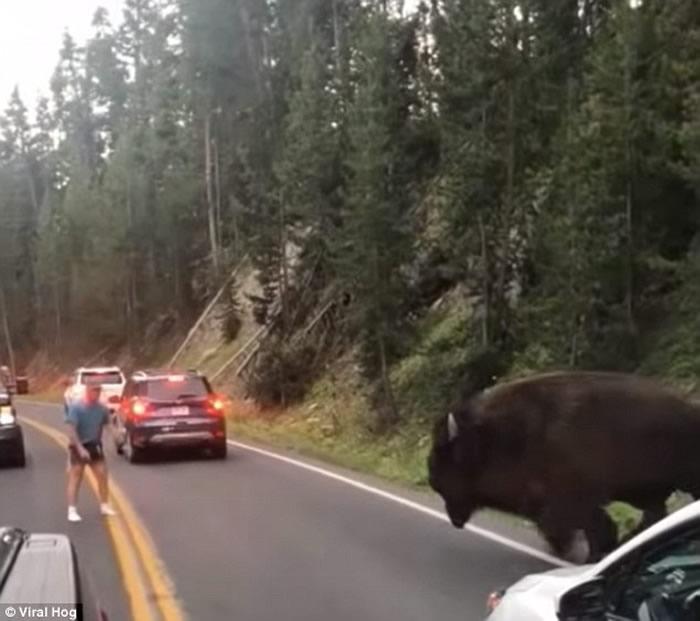 美国男子黄石公园挑衅2千磅野牛