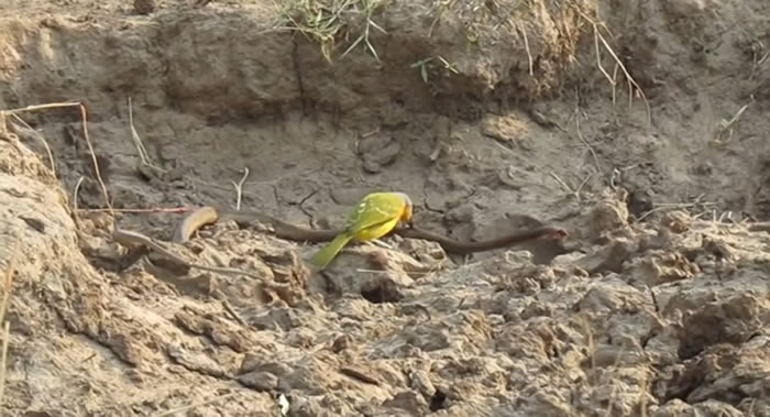 南非克鲁格国家公园食虫鸟活撕毒蛇