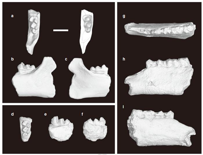 湖南最早始新世岭茶组的早期爪兽衡阳原爪兽? (Protomoropus? hengyangensis Young, 1944) (a-f)和早期雷兽棱齿丹江兽(