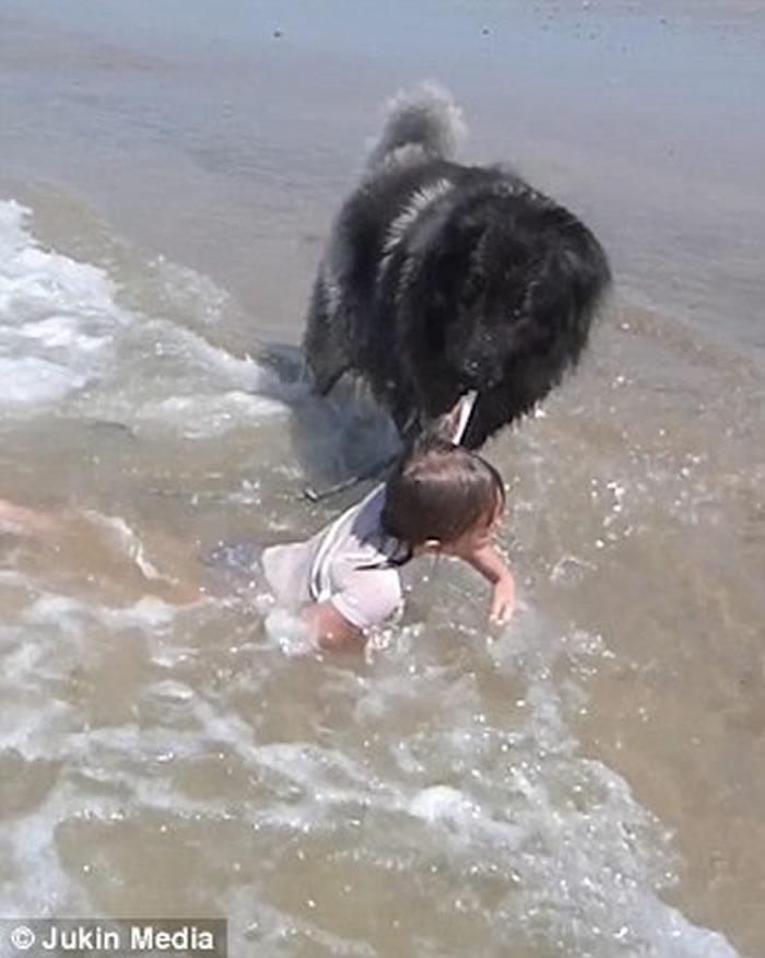 怕海浪冲走小主人 法国聪明狗狗用口咬上衣拖上岸爆红