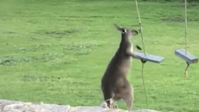 澳洲袋鼠宝宝不会玩秋千气冲冲跳走