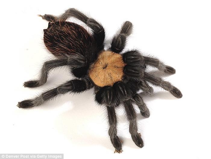 """墨西哥餐厅""""蜘蛛卷饼""""的菜式所用的食鸟蛛为受保护物种""""墨西哥红尾蜘蛛"""""""