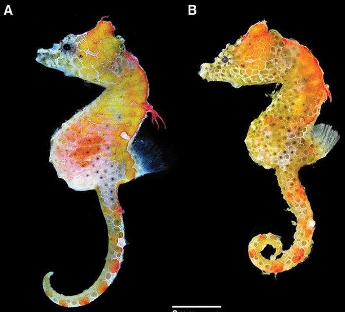 雄性日本小猪(左)的体形较雌性(右)大。