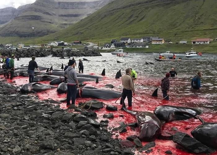 丹麦属地法罗群岛杀鲸大会鲜血染红海湾