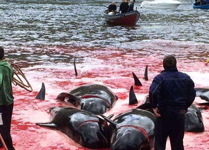 法罗群岛每到夏天,都会举行杀鲸大会。