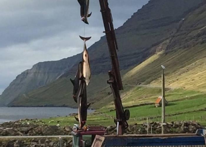 当地人吊起鲸鱼尸体。