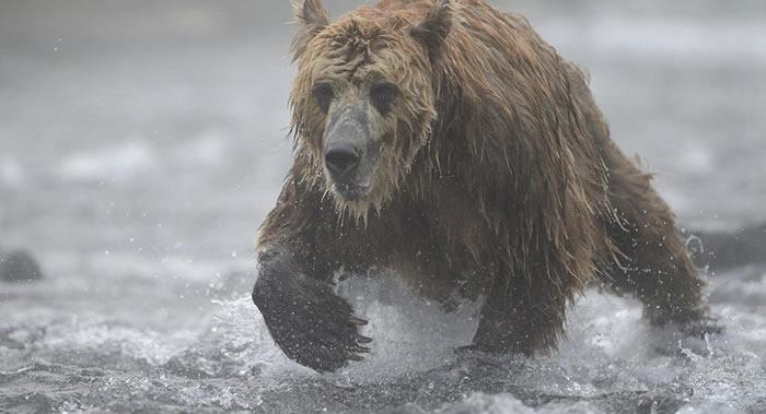 俄罗斯堪察加克罗诺基自然保护区一工作人员遭熊攻击死亡